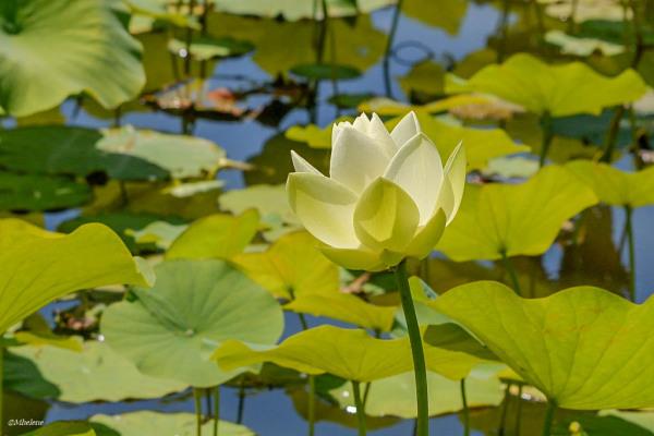 Fleur de lotus -2