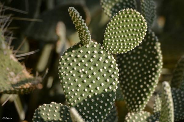 Les oreilles du cactus