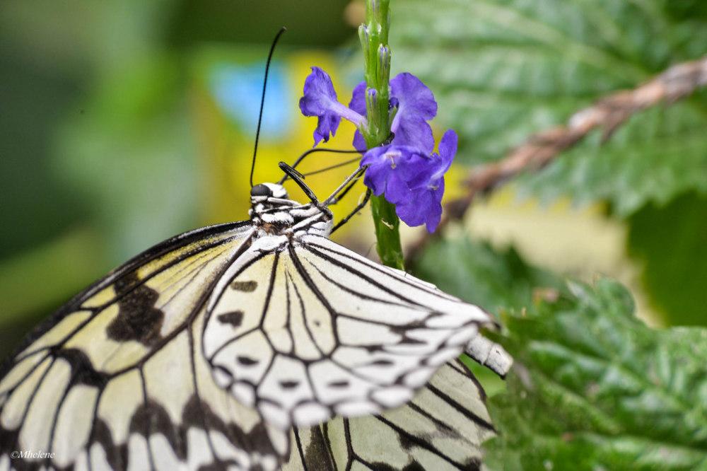 Les Papillons 2
