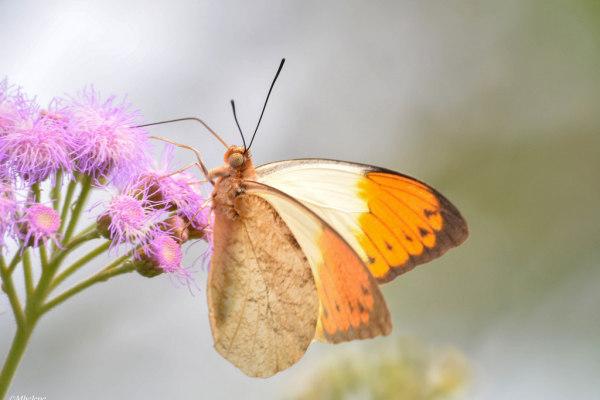 Les Papillons 4