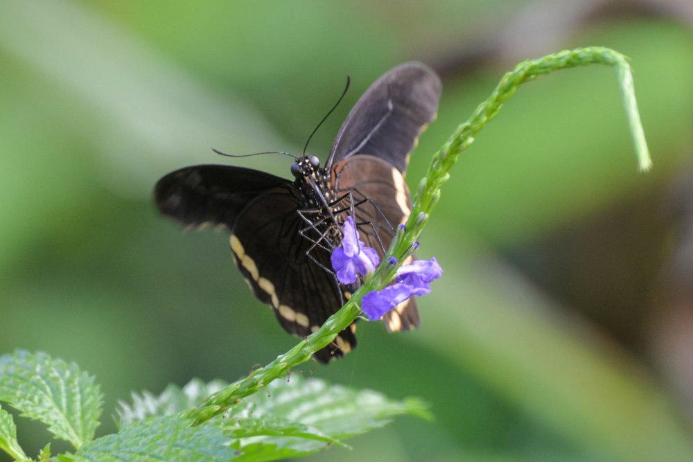 Les Papillons 5