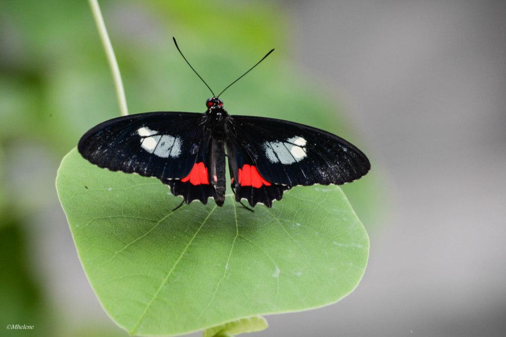 Les Papillons 6