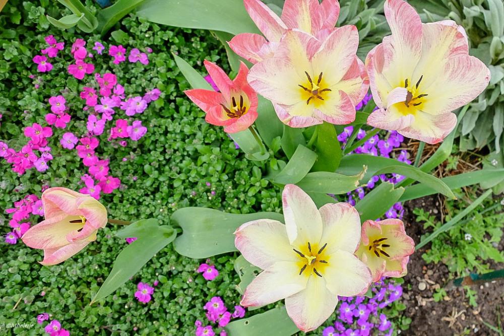 Tulipes 3