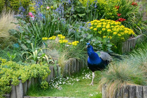 Le paon en son jardin