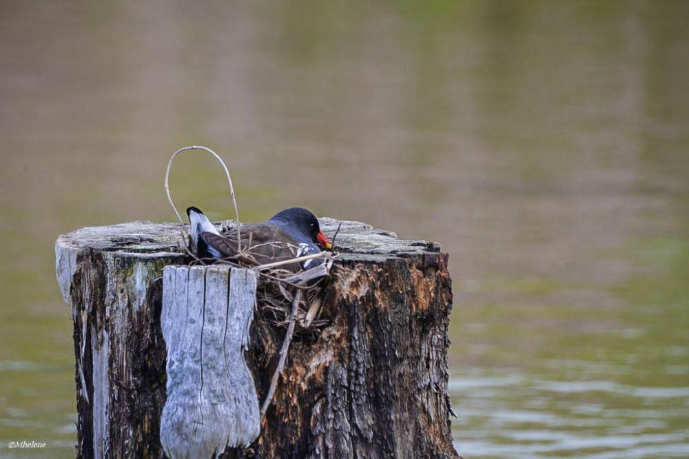 Le nid de la Gallinule