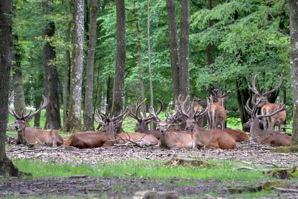 Les cerfs à Rambouillet 1