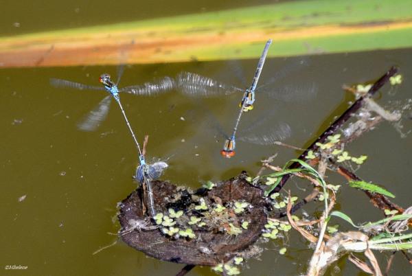 Le nid d'amour des petites libellules