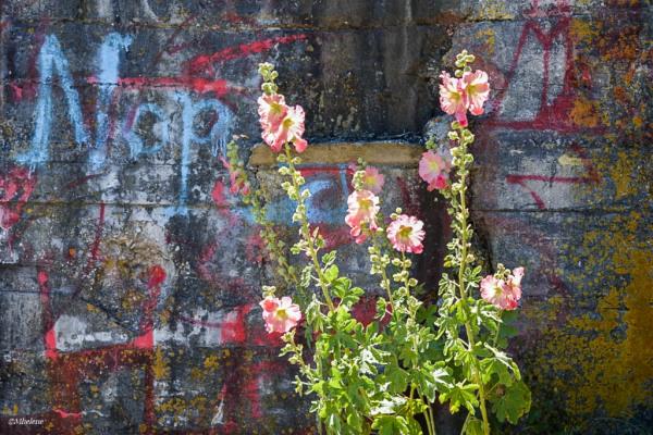 La Rose Trémière de Plougastel