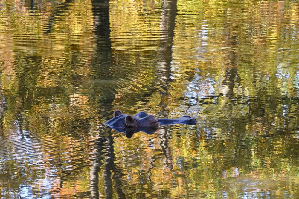 Délices d'automne de l'hippopotame
