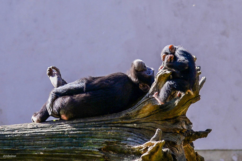 Time for relaxation for chimpanzees