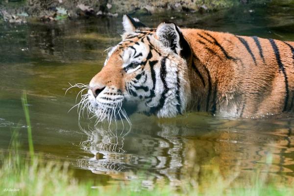 Le bain du tigre