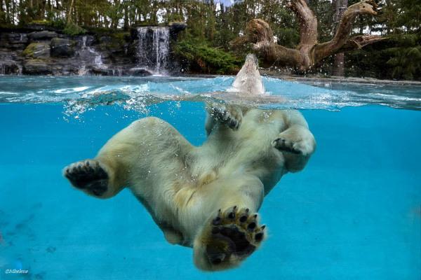 L'ours polaire fait la planche ...