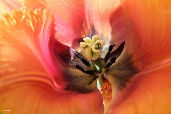 Couleurs de tulipe