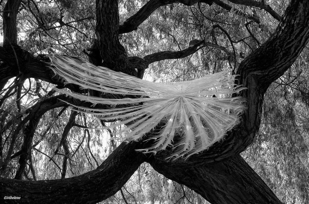 Un paon dans les arbres