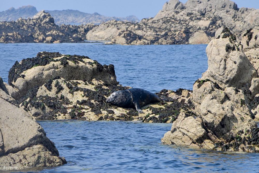 Phoque veau marin 2