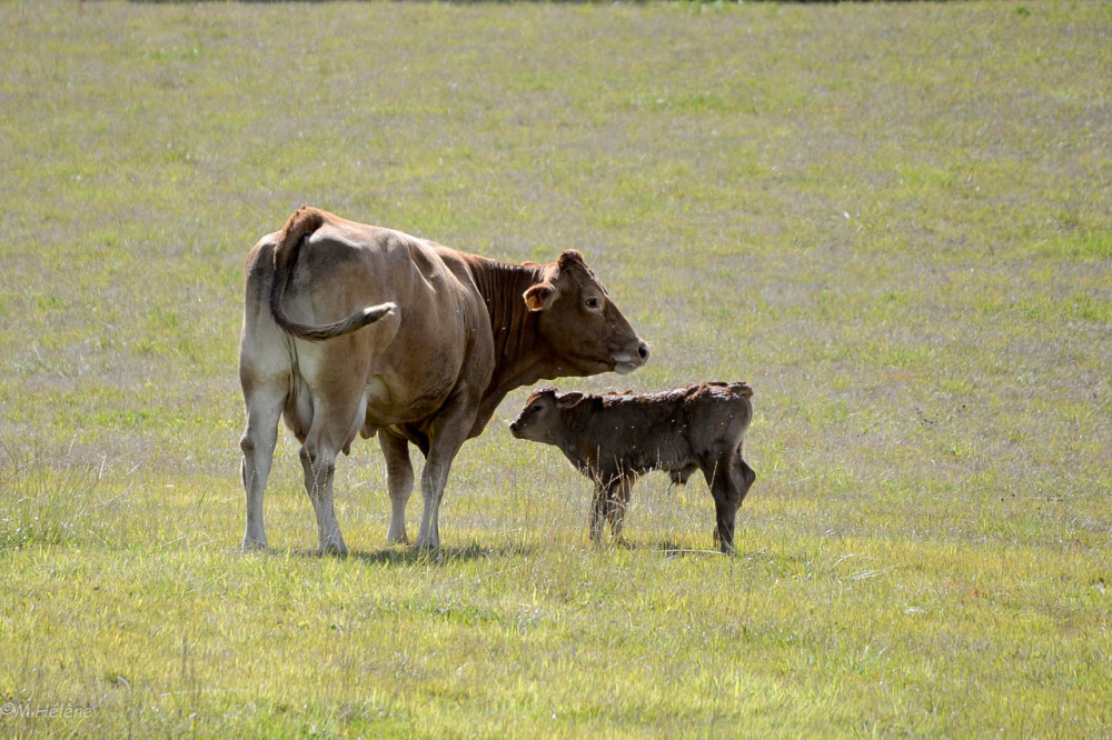 Le veau et sa mère
