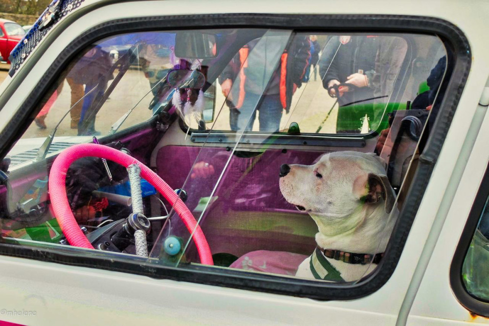 On Tuesday dogs are driving...