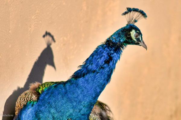 Le Paon et son ombre