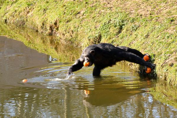Un chimpanzé à la poursuite de son goûter