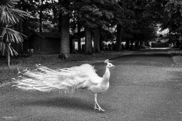 Promenade du paon blanc