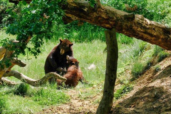 Les jeux des ours