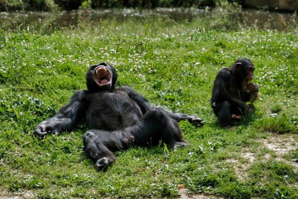 Eclats de rire ...chimpanzés père et fils