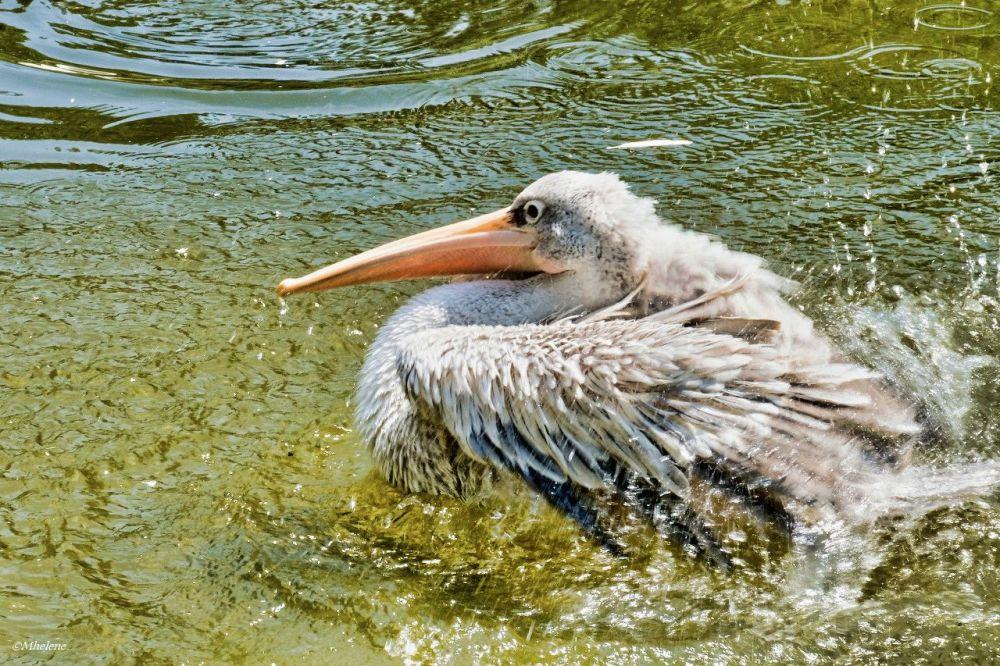 Le bain du Pélican