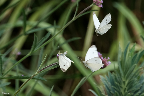 Papillons ...volent