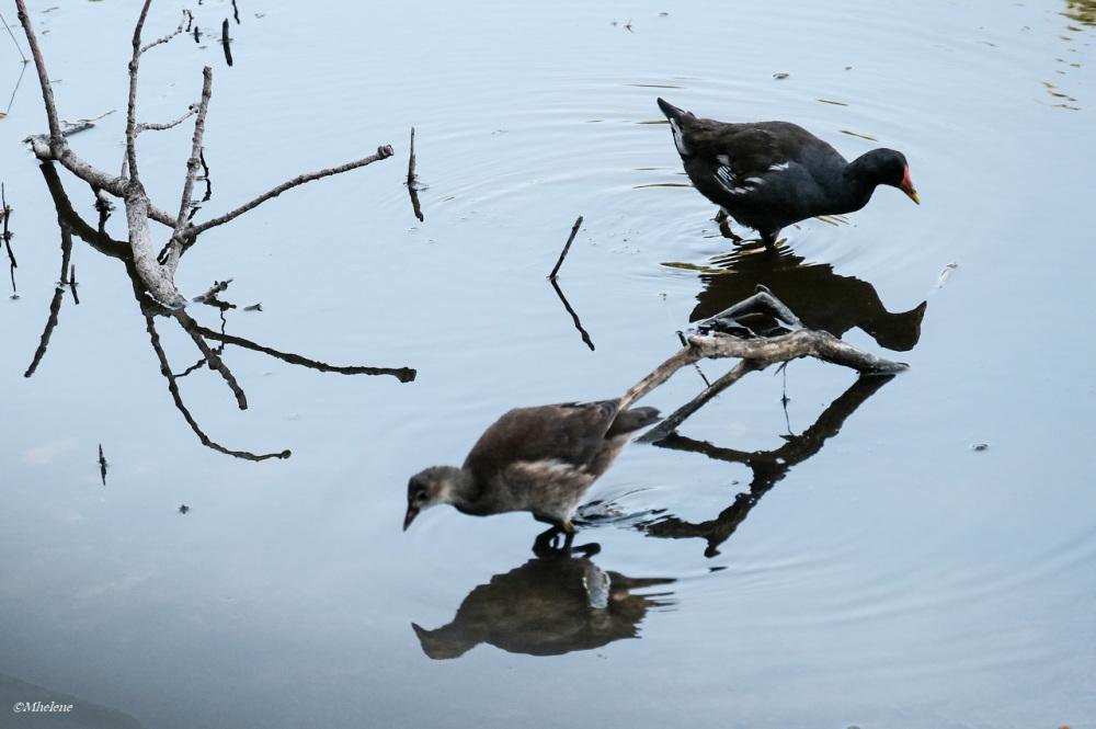La Gallinule poule-d'eau et son ado