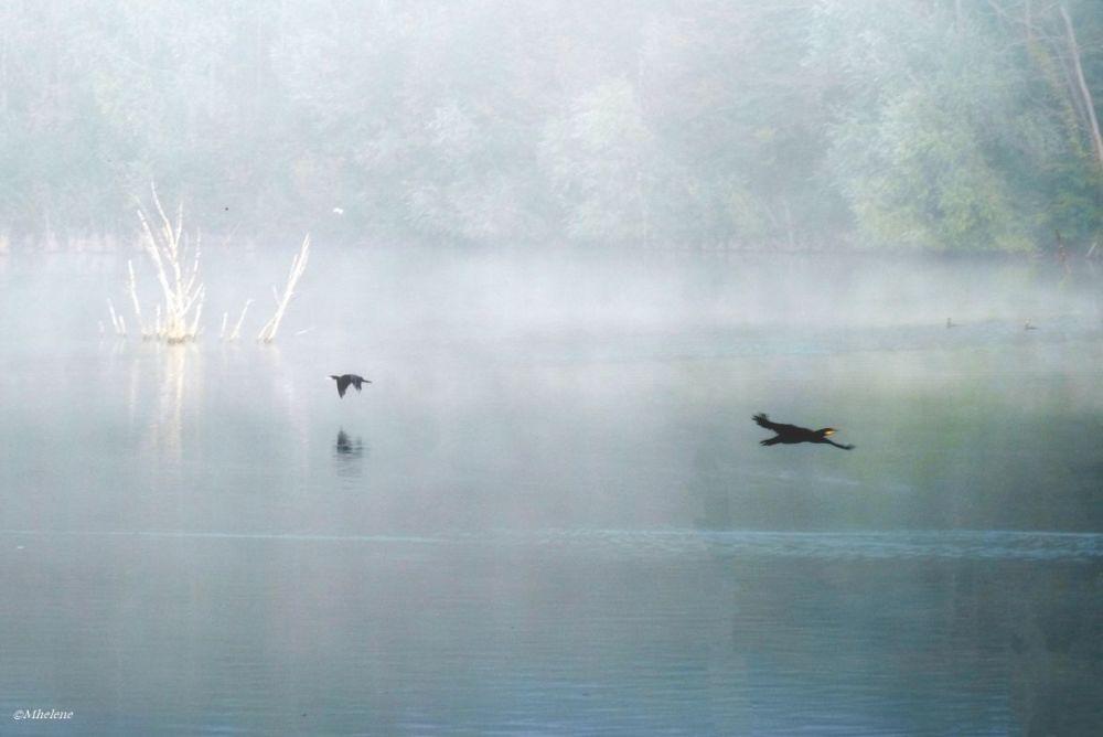 Cormorans dans le brouillard