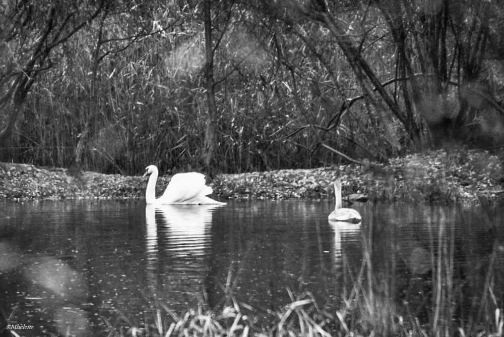 Les cygnes sur l'étang