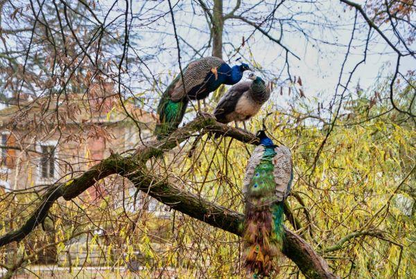 Les paons dans l'arbre