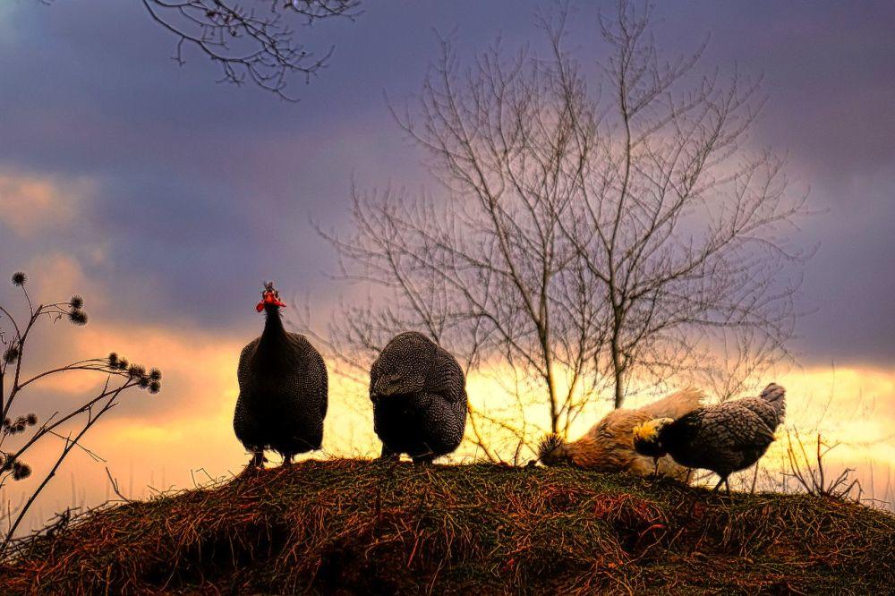 Les poules singulières