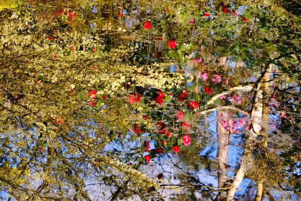 Le miroir des magnolias et camélias