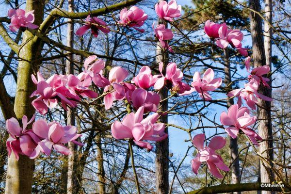 Les Magnolias