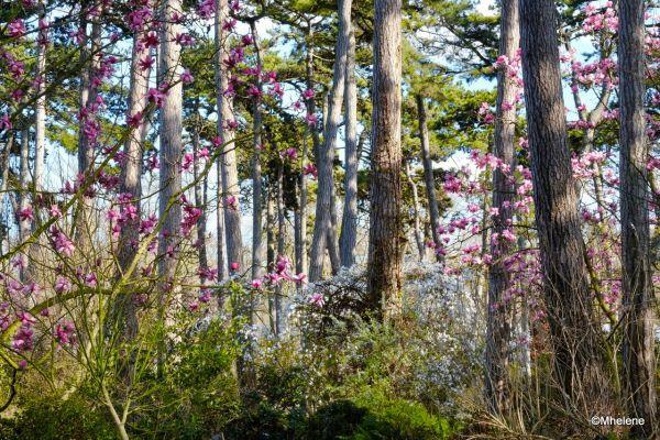 Les Magnolias- 2