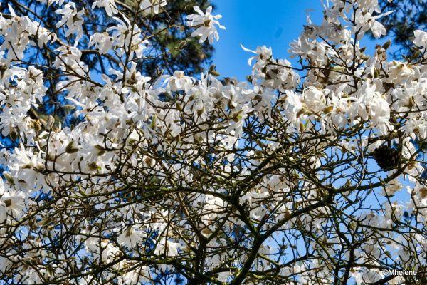 Les Magnolias- 3