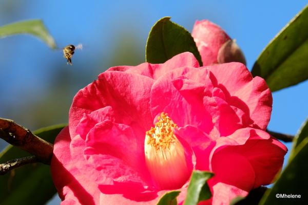 Fleur de Camelia