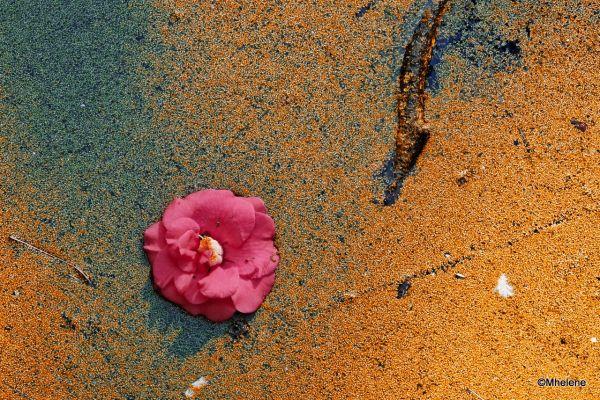 Fleur de Camélia - 2