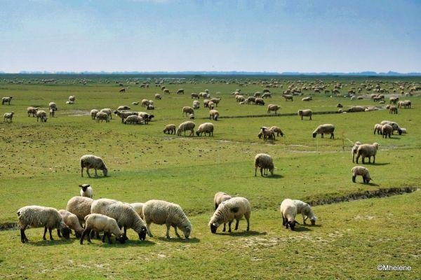 Les moutons en Baie de Somme