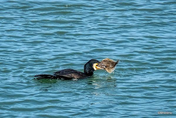 Le Cormoran et la Limande