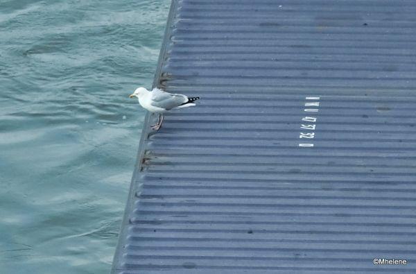 Travelling Gull