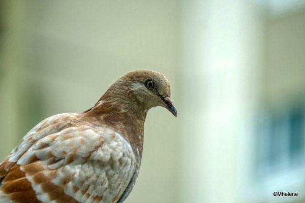 Le Pigeon dans la jardinière