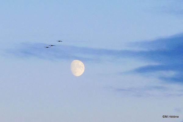 Grues cendrées et la lune -2