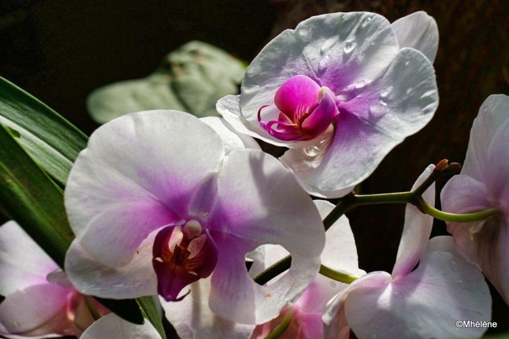 Mille et une Orchidées 5