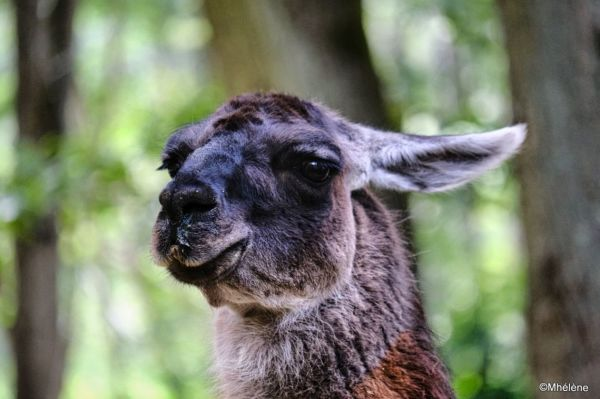 Le Lama