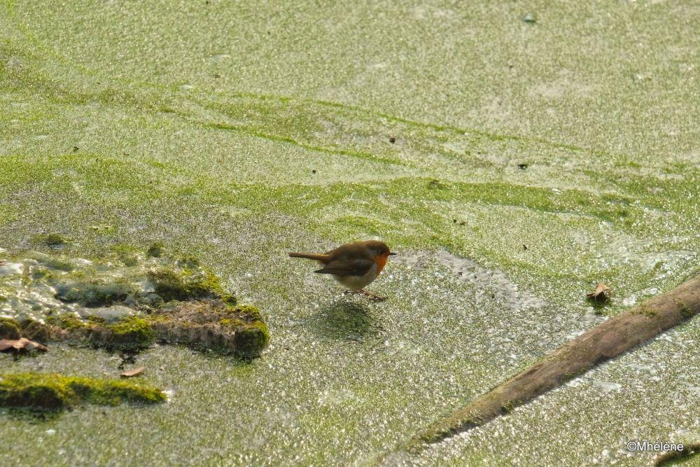 Le Rouge-gorge sur l'étang gelé