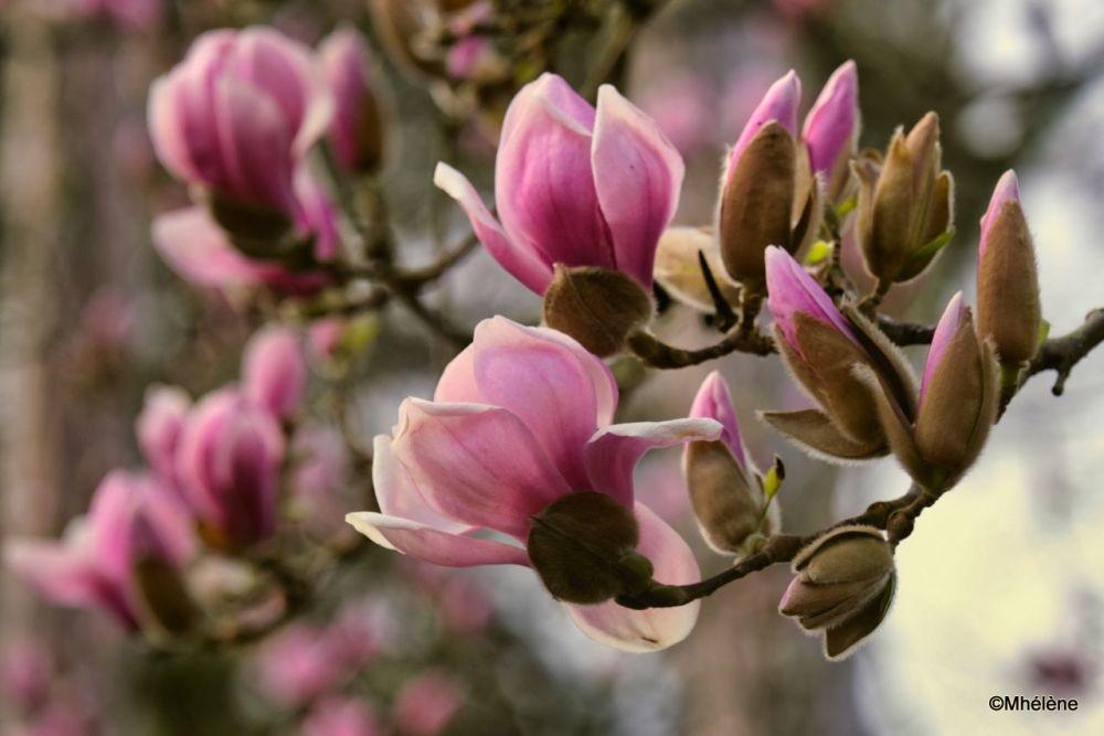 Les Magnolias s'éveillent