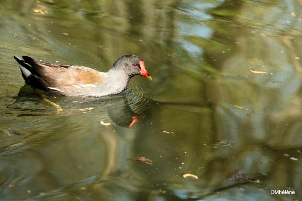 Gallinule poule-d'eau