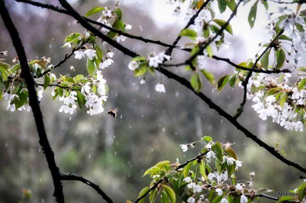 Un Merisier dans le vent sous la pluie